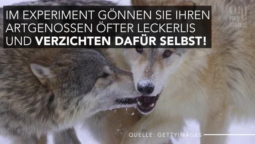 Wolf oder Hund: Diese Studie zeigt, welches Tier wirklich sozialer ist!