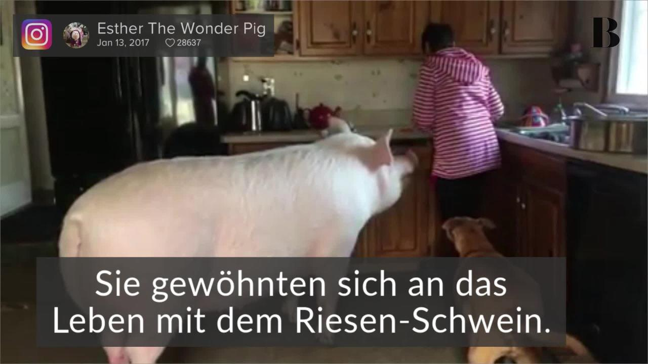 Paar adoptiert Mini-Schweinchen - doch schon bald kommt alles anders ...