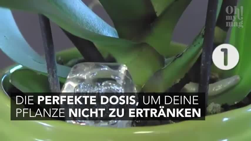Mit diesem Trick blühen Orchideen länger