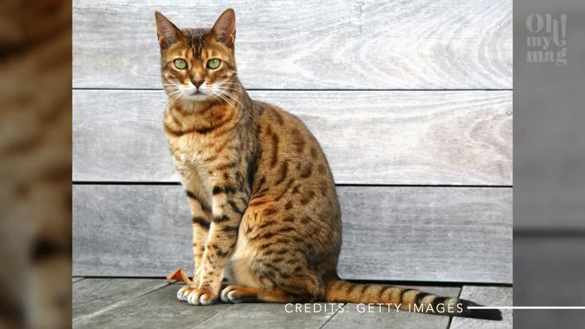 Die fünf teuersten Katzen der Welt und was sie kosten